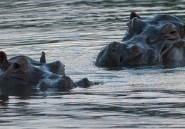 Grâce à Escobar, l'hippopotame peuple pour la première fois un autre continent que l'Afrique